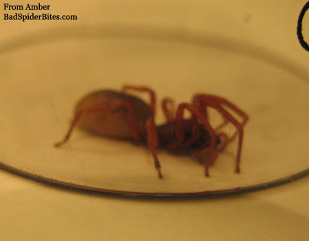 brown/red colored spider