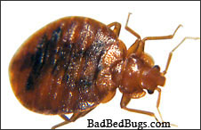 Bed Bugs and how to do pest control
