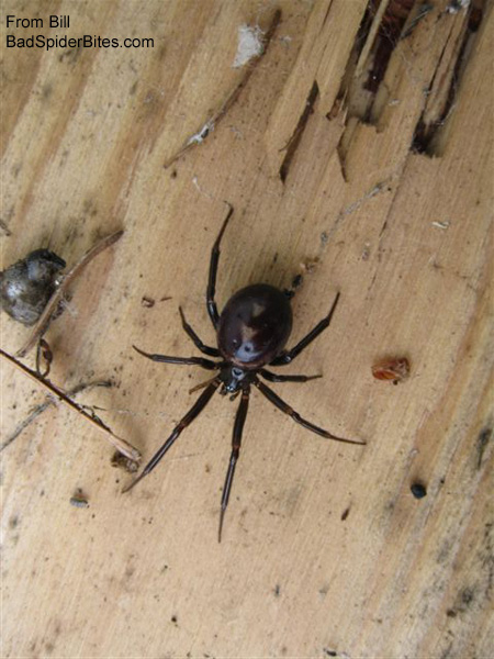black spider with red marking