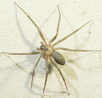 Brown Recluse Spider Michigan