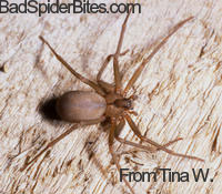 Brown Recluse found by Tina