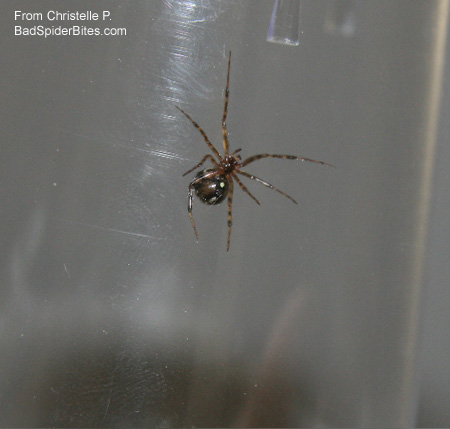 black-brown spider with yellow dot on stomach