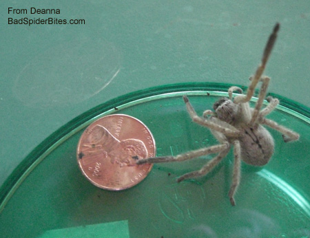 Brownish spider compared to the size of a penny