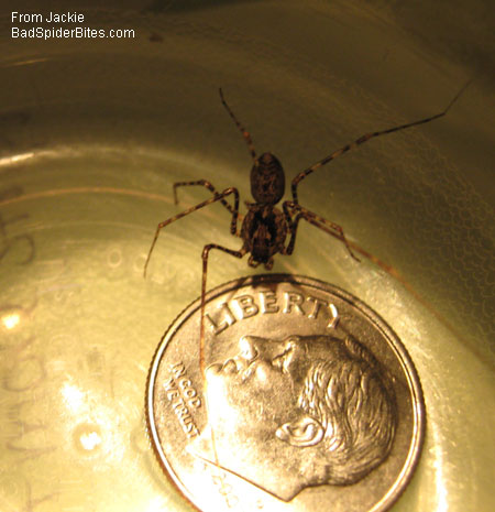 spider the size of a dime