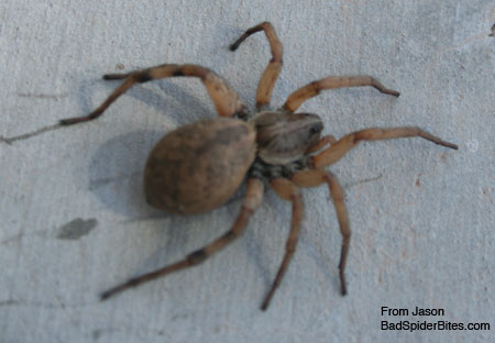 black and tan spider