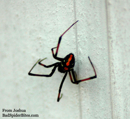 black and red spider