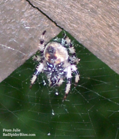 light colored spider