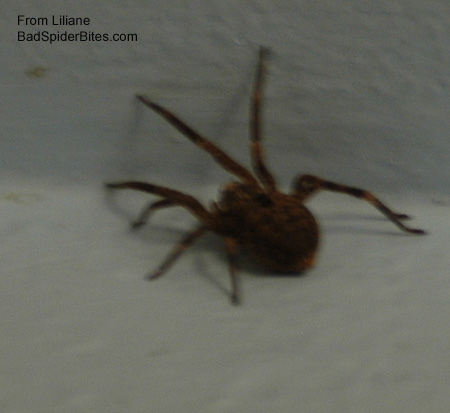 Brownish colored spider