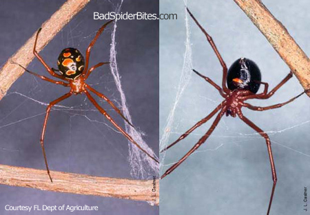 Brown Spider Yellow Spots http://www.badspiderbites.com/brown-widow-spider/
