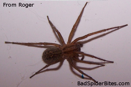 Pennsylvania Wood Spiders http://www.badspiderbites.com/hobo-spider/