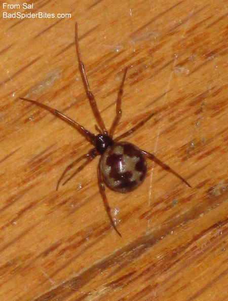 brown spider with gold, wavy bands