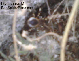 spider with white and black legs