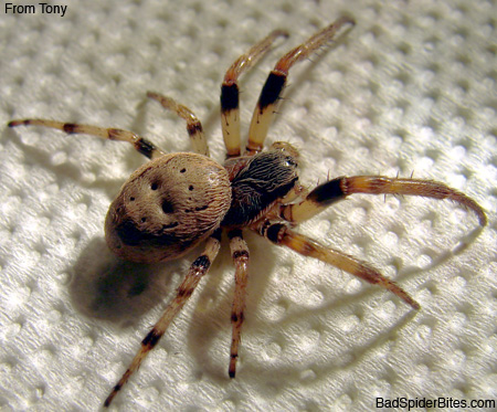 how to get rid of wolf spiders inside my house