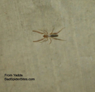 tan and black spider