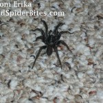 Picture of a Trap Door Spider