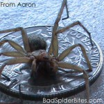 Hobo spider with quarter