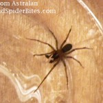 picture of a brown recluse spider