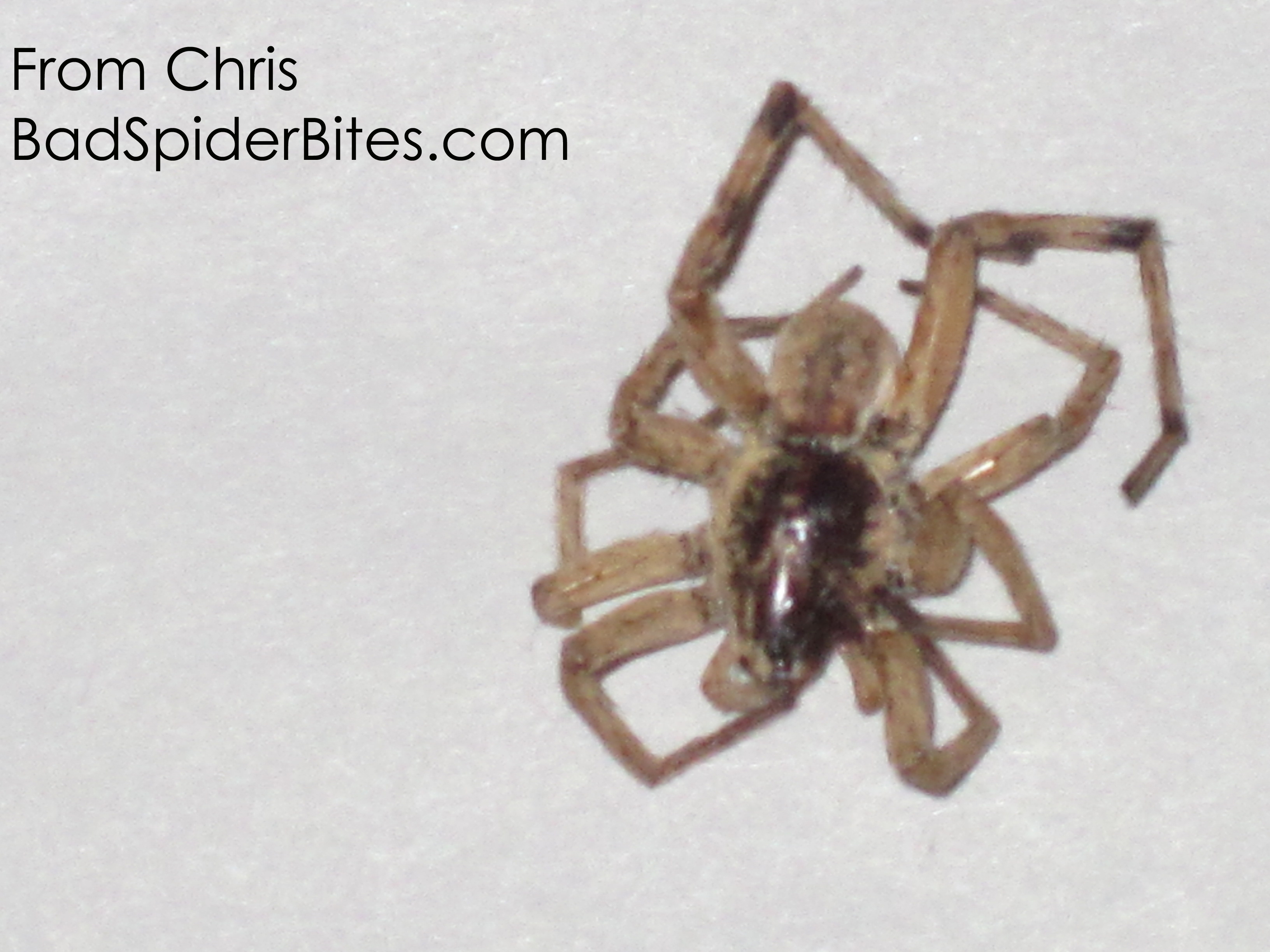 Is this a black footed yellow sac spider i found it in my apartment - Hi There I Have Found Several Of These Spiders In My