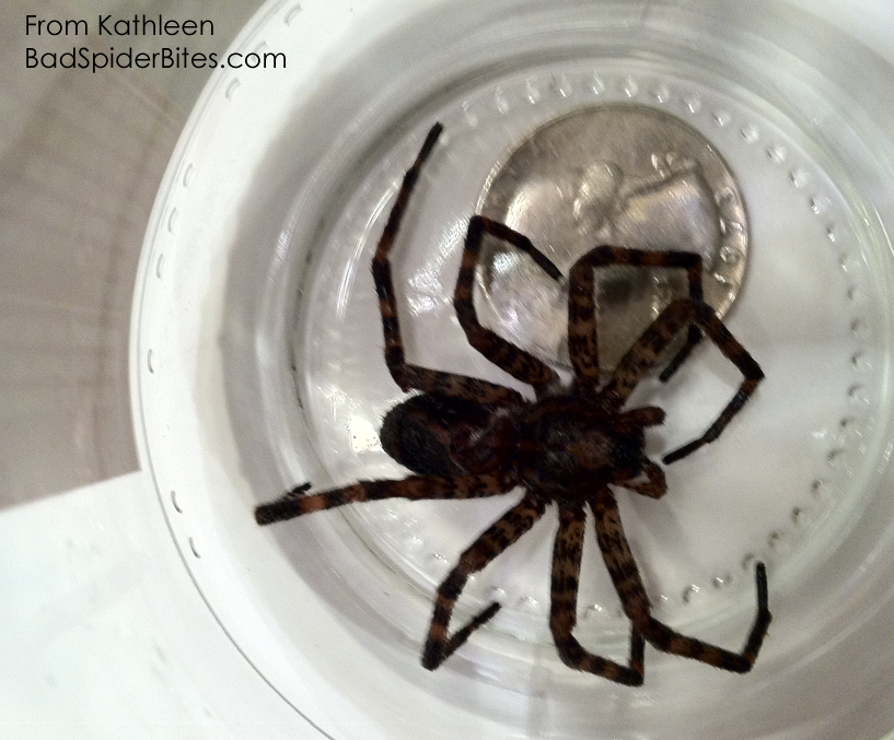 Brown Spider with Black