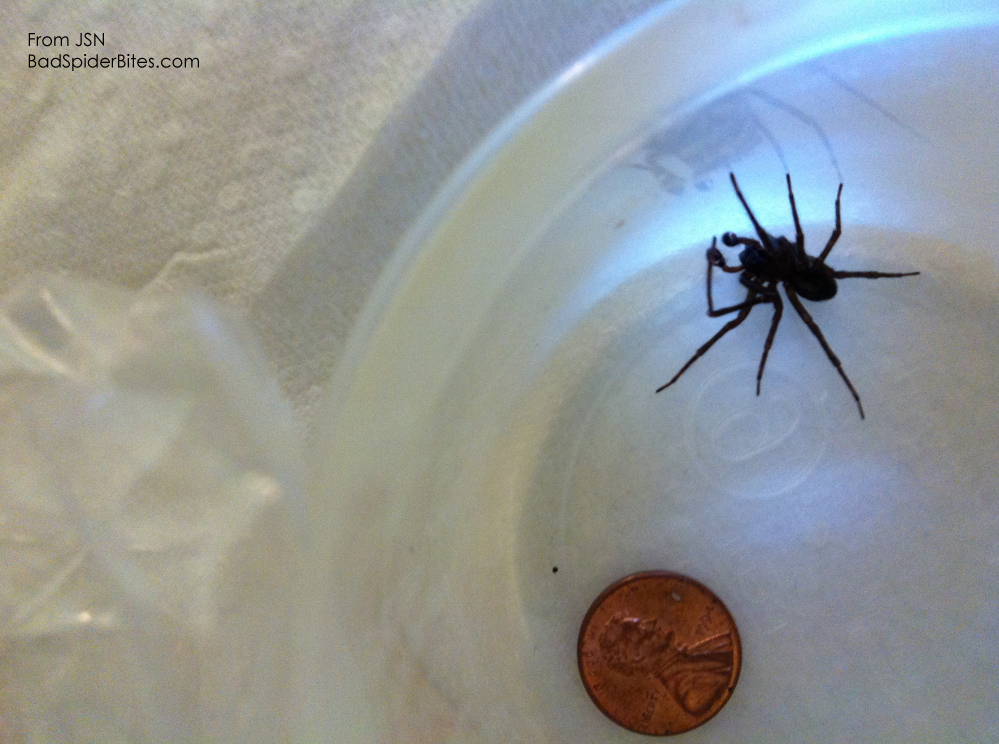 Black-Hobo-Spider