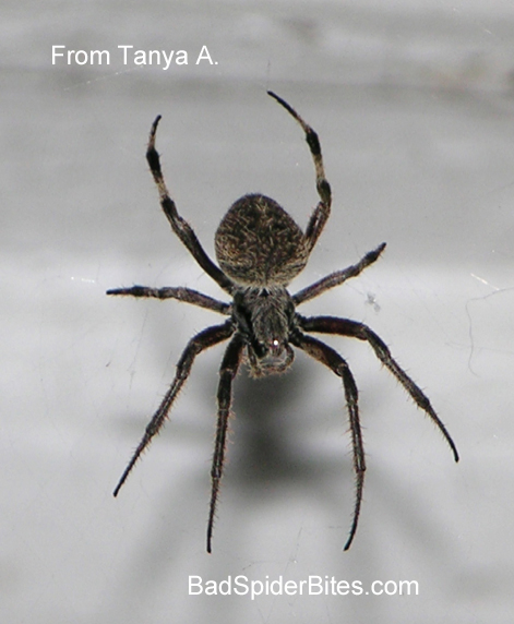 Spider Identification, How to Tell if Venomous or Dangerous
