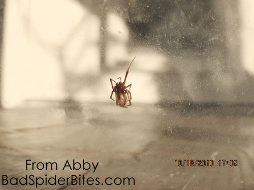 brown widow spider bites pictures. Brown Widow Spider
