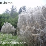 Picture 1 of massive spider webs in suffolk england