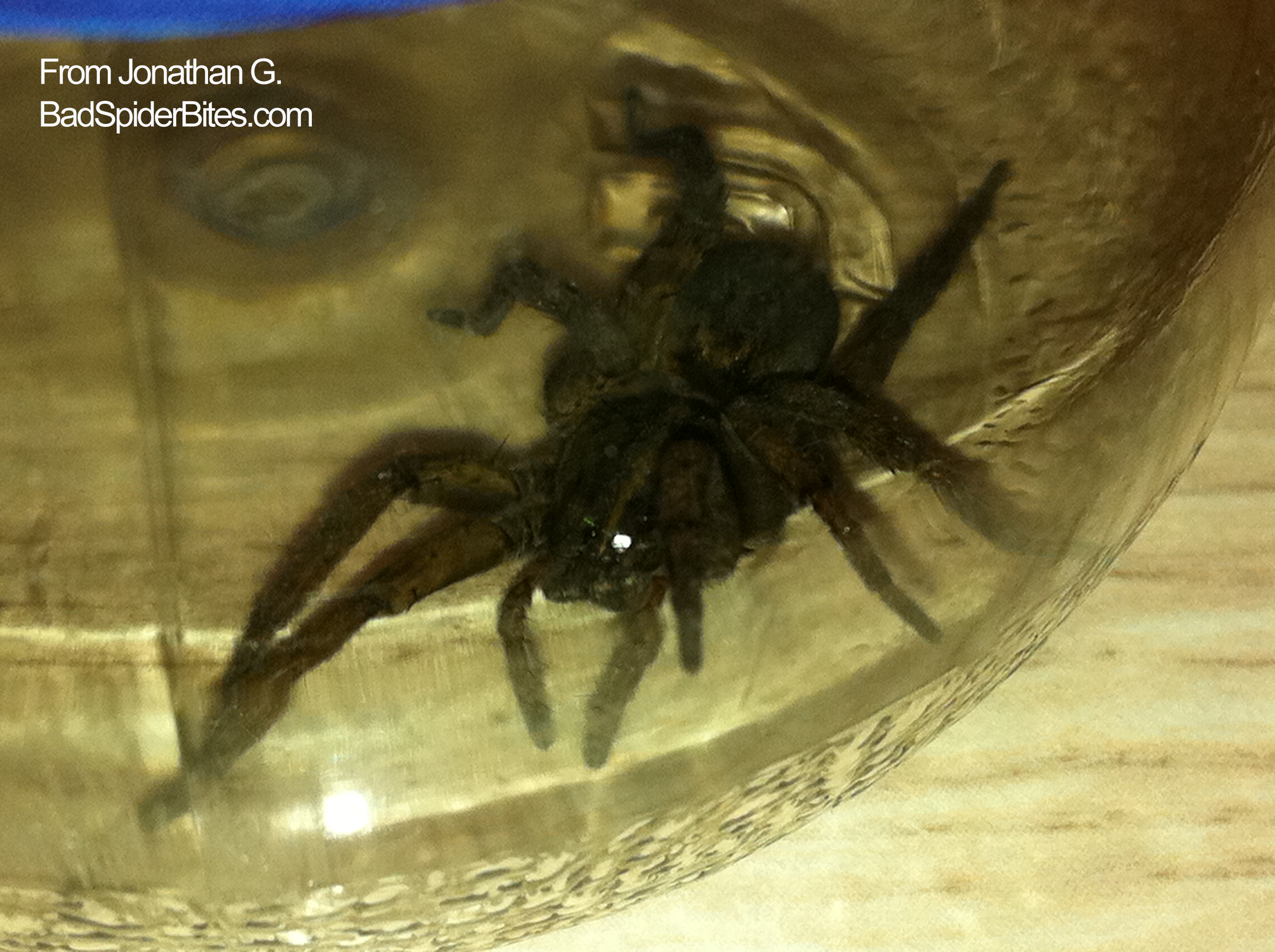 Is this a black footed yellow sac spider i found it in my apartment - Large Black Spider1 Large Black Spider2
