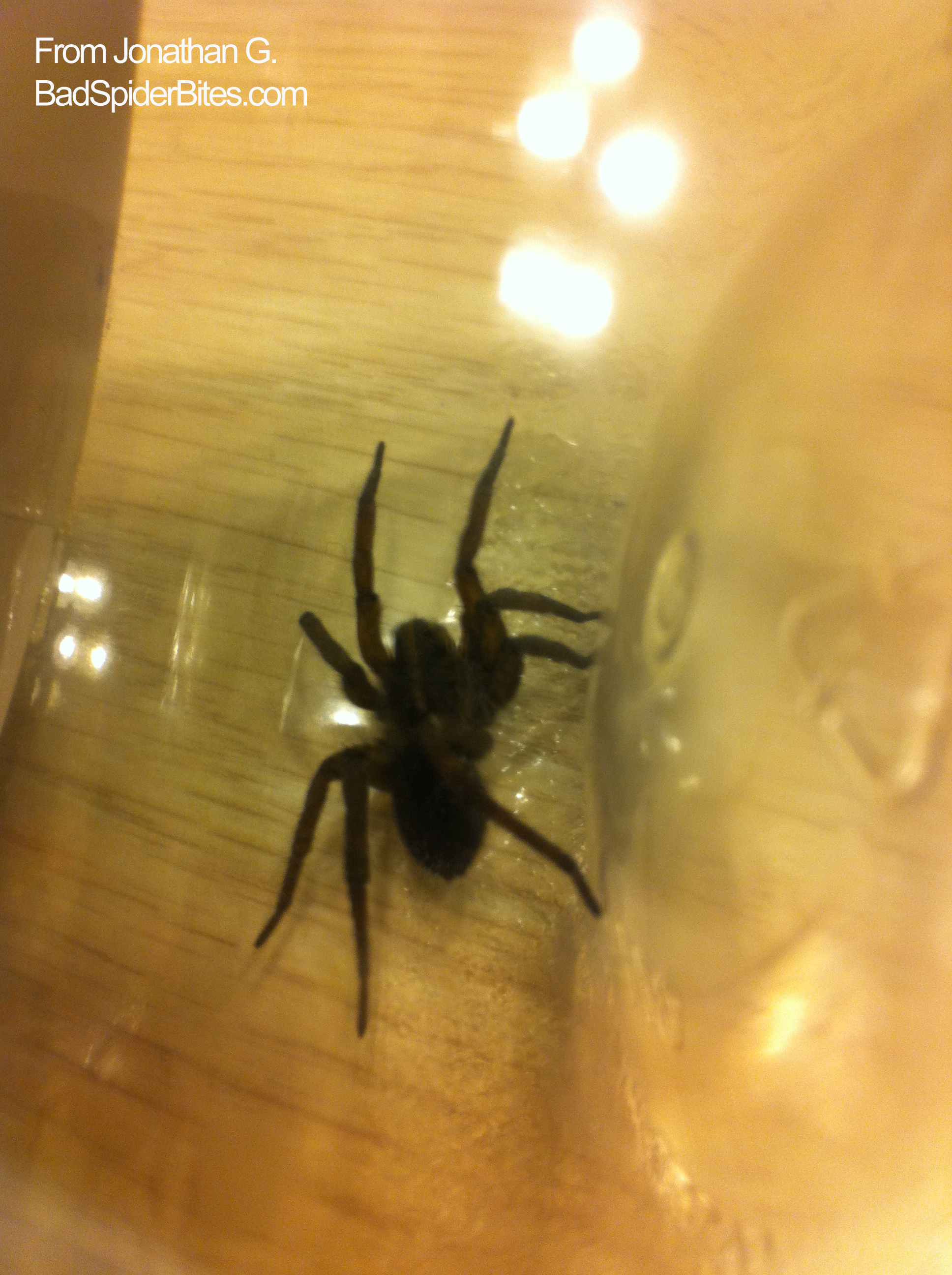 Is this a black footed yellow sac spider i found it in my apartment - Large Black Spider1