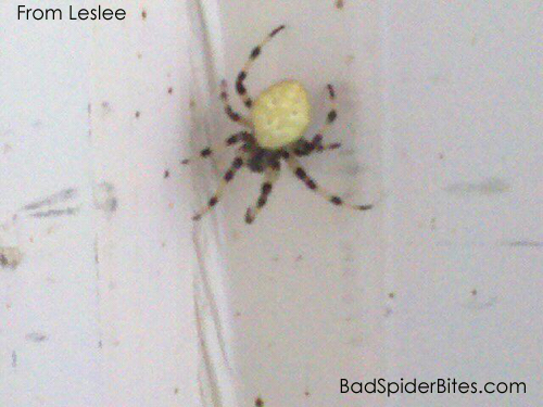 Brown Spider With Yellow And Black Striped Legs Yellow Spider With Stripe Legs