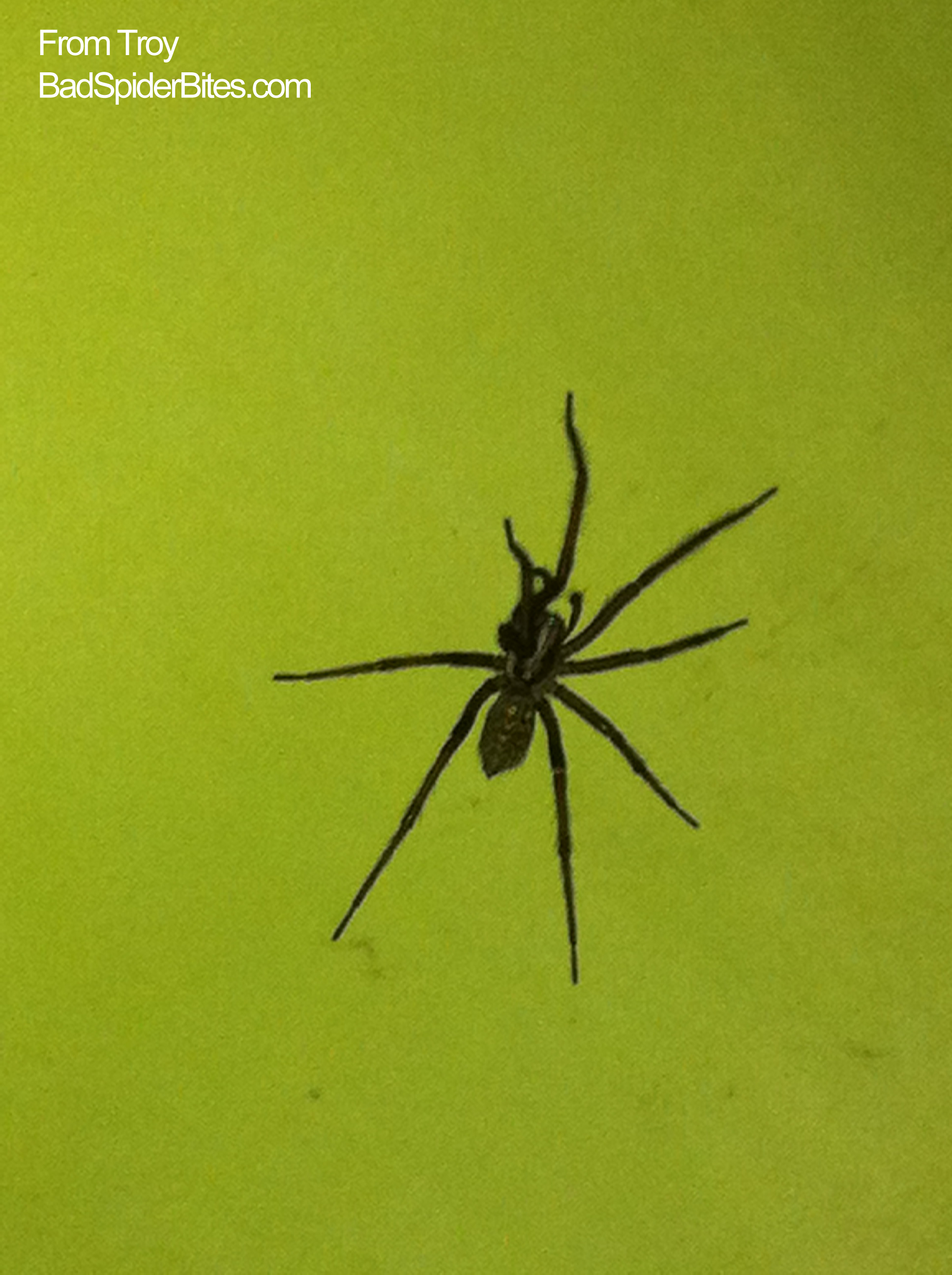 Is this a black footed yellow sac spider i found it in my apartment - I Ve Found Several Of These Spiders In My First Floor Apartment In